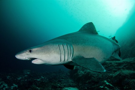 smalltooth sand tiger